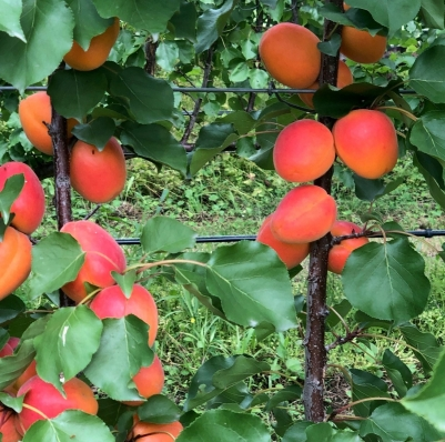 Exciting new apricots released
